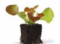 Plants de feuille de chêne rouge * 6