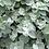 Thumbnail: Hélycrysum, pot Ø 13