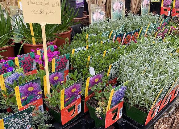 Plantes vivaces variées, pot vert