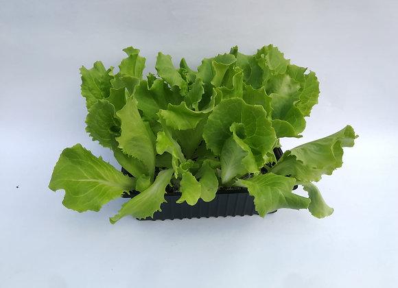Plants de laitue * 6