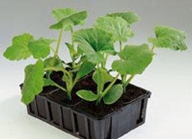 Plant de cornichon, pot Ø 11