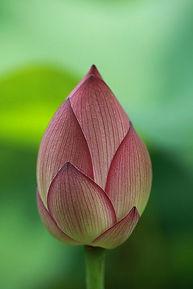 lotus bud.jpg