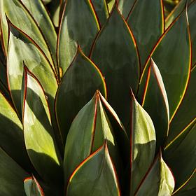 california_plant_green_garden_succulent_