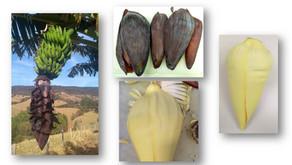 Coração de bananeira: você sabe o que é, quais são os benefícios à saúde e como utilizá-lo?