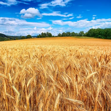 Wheat & Tares