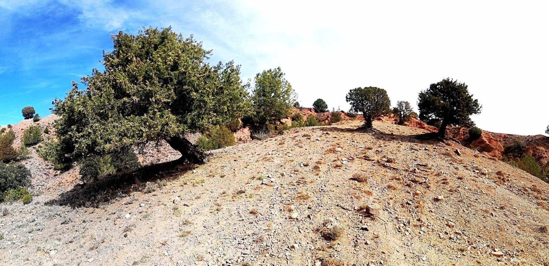 Sabinar / Sabinas Forest