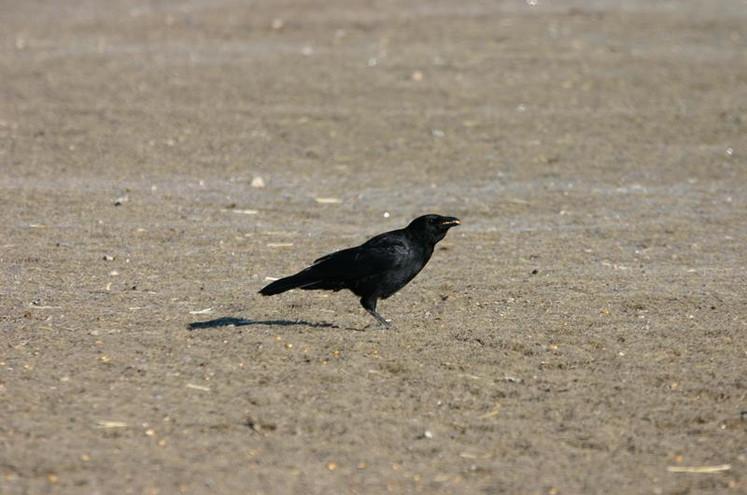 Corneja negra ( Corvus corone)