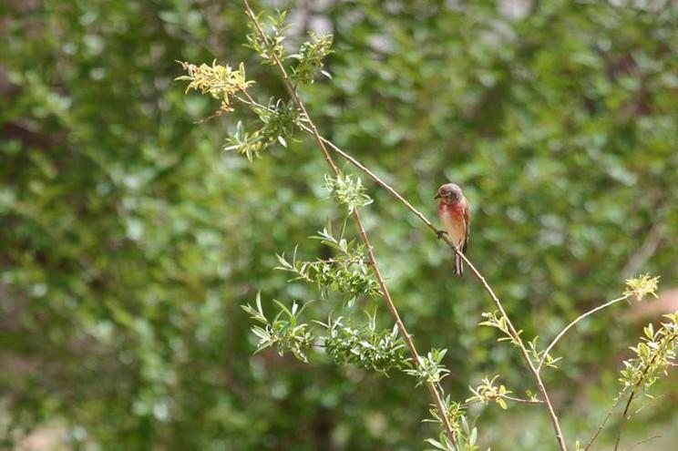 Pardillo común ( Carduelis cannabina)