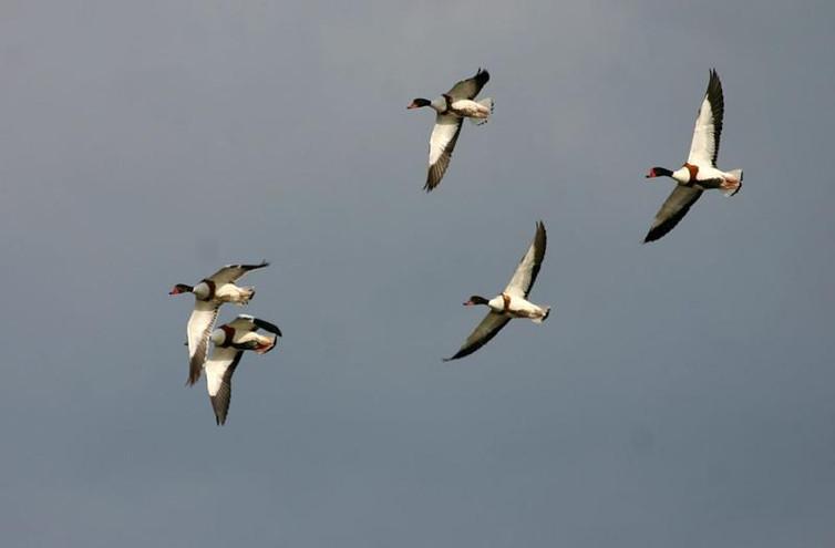 Tarros blancos en vuelo ( Tadorna tadorna)