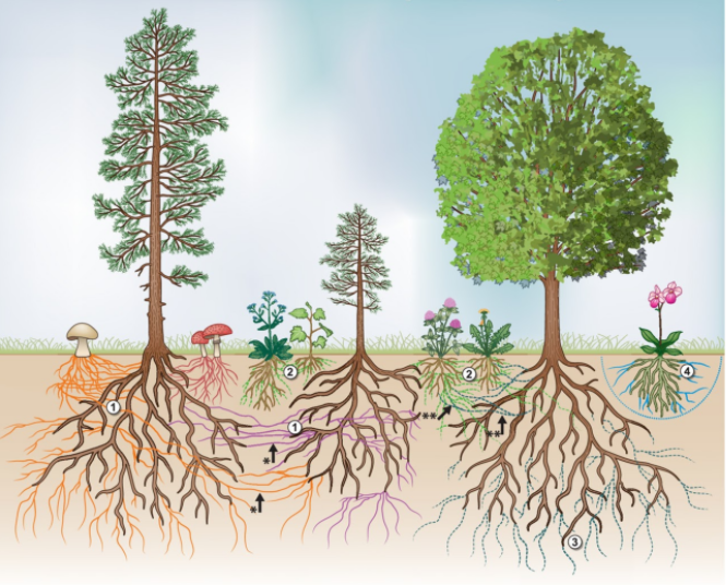 "A common depiction of the Common Mycelial Network (CMN) a.k.a the ""wood wide web"". (1) shows tree roots connected by ectomycorrhizal fungi; (2, 3) shows various plant species and a tree form arbuscular myccorhizal networks (AMF) which are interconnected into the subsoil layers; (4) an orchid forms a 3rd underground mycelial network with orchidaceous endomyccorhizas. More than 6,000 fungal species and at least 90% of the worlds plants confer nutrients through mycorrhizal symbiosis. (Image source: van der Heijden et al., 2014)"