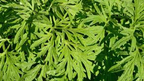 Plantes Médicinales Africaines: Remèdes du Coronavirus Covid-19