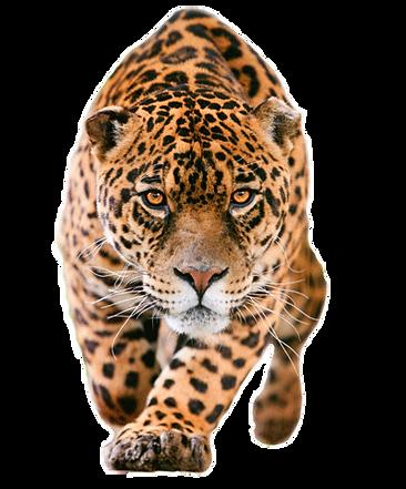 jaguar-clipart-rainforest-creature-3.png