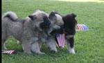 puppies_july_fourth.jpg