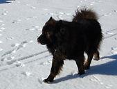 eurasier_winter_walk_2.jpg