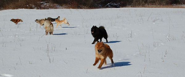 eurasier walk.jpg