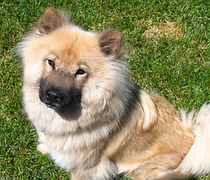 Heartland's Elsa Shea - belonging to the kennel of Heartland Eurasiers - member of the United States Eurasier Club (USEC)