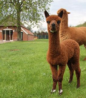 alpaca Hoeve Hogeslag