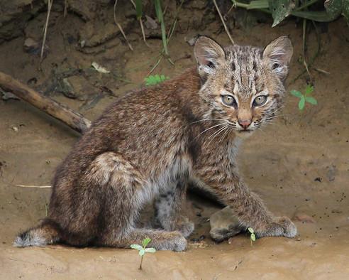 Bobcat-Kitten.jpg