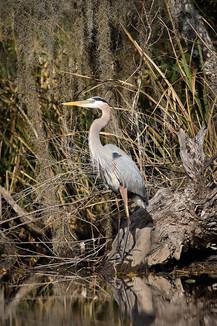 Blue-Heron-II-Cane-Bayou.jpg
