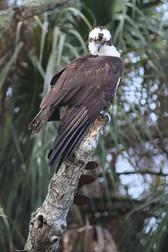 Osprey Myakka (S).jpg