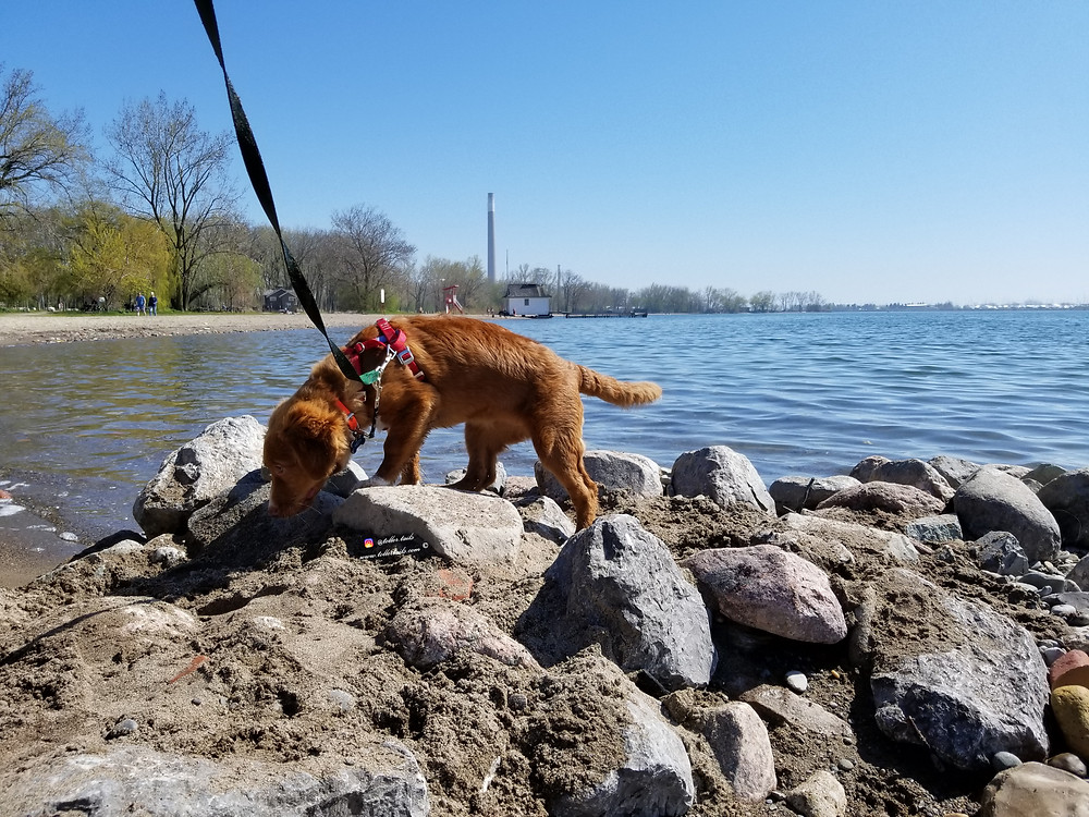 Hedy Toller Tails a dog is sniffing some rocks