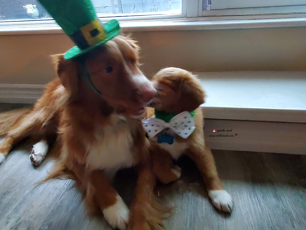 Henry and Hedy Toller Tails dogs posing together in St. Patricks Day costume