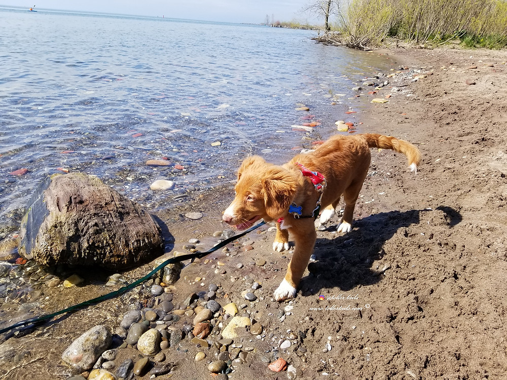 Hedy Toller Tails a puppy walks along the lakeshore.