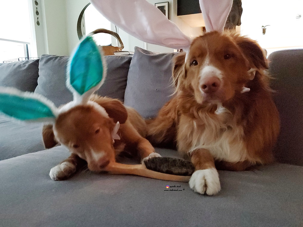 Hedy a puppy eft) wearing bunny ears chewing a brush and Henry (right) waiting for her to lose interest
