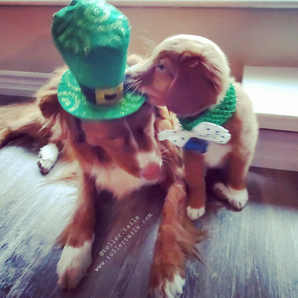 Hedy Toller Tails puppy dog chewing on Henry's hat