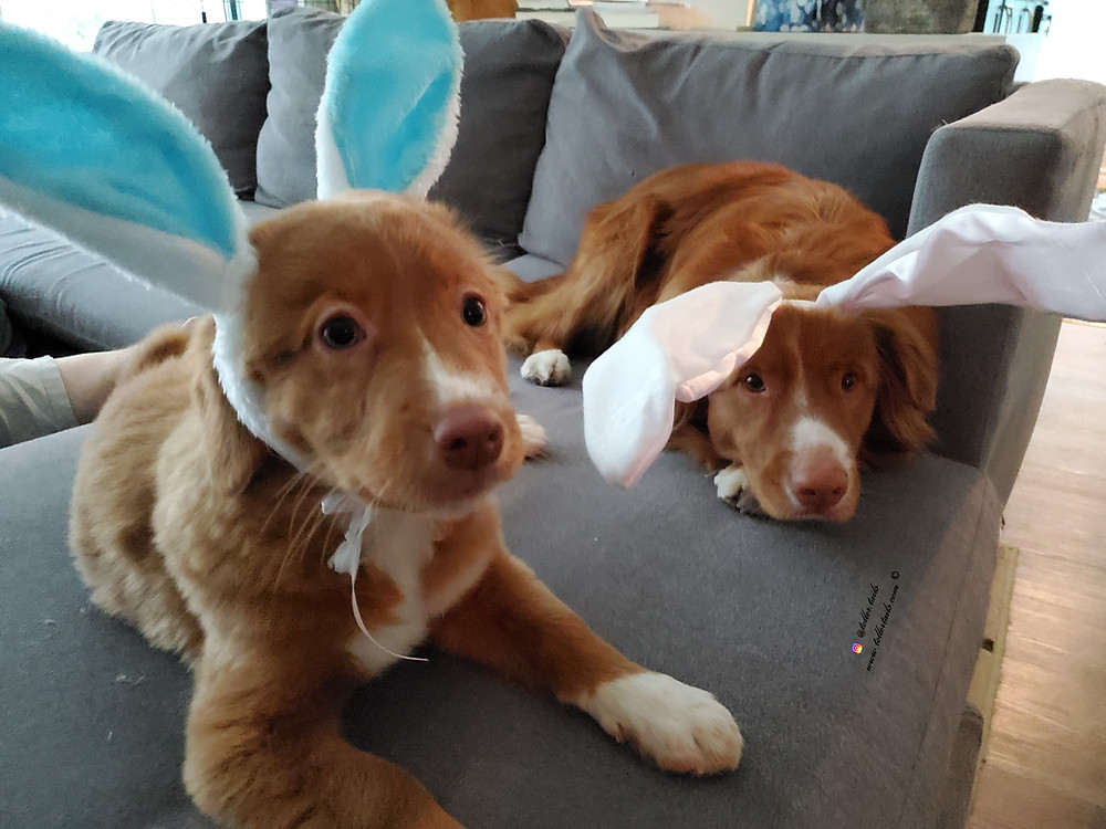 Hedy, a Toller puppy (left), and Henry, (an adult Ducktoller dog (right)