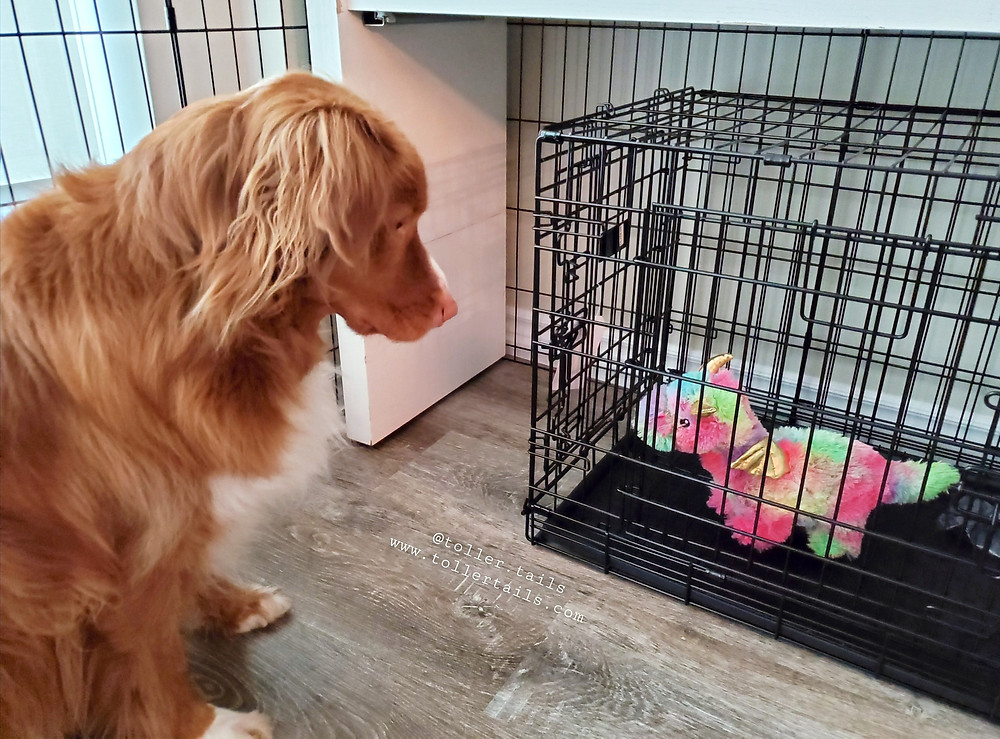 Henry, Ducktoller dog, checks out a puppy crate.