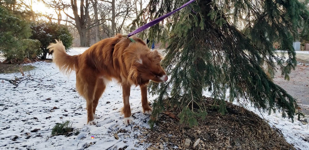 Henry Toller Tails, dog, sniffing a tree.