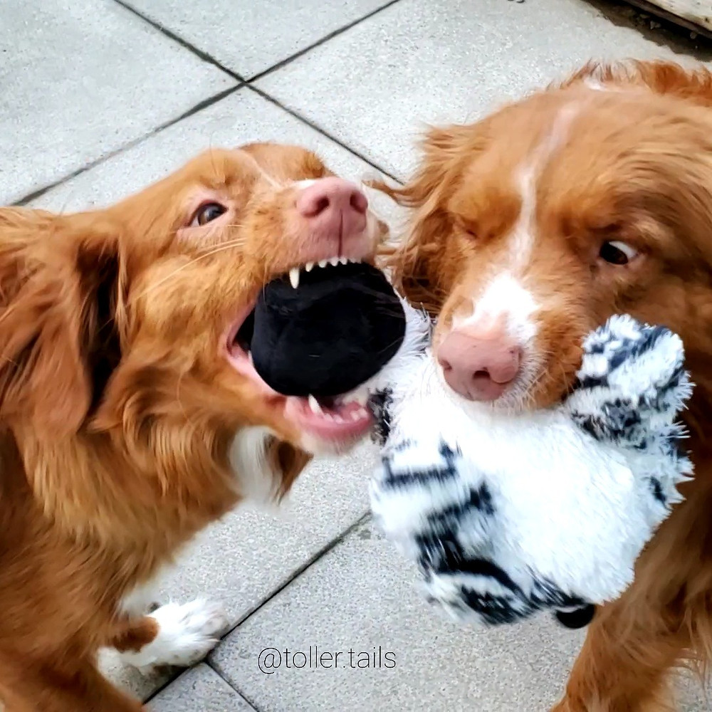 Hedy (left) playing tug with Henry (right) during product testing