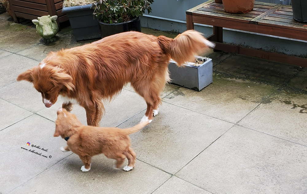 Henry, adult dog, shows Hedy, puppy dog, around a patio.