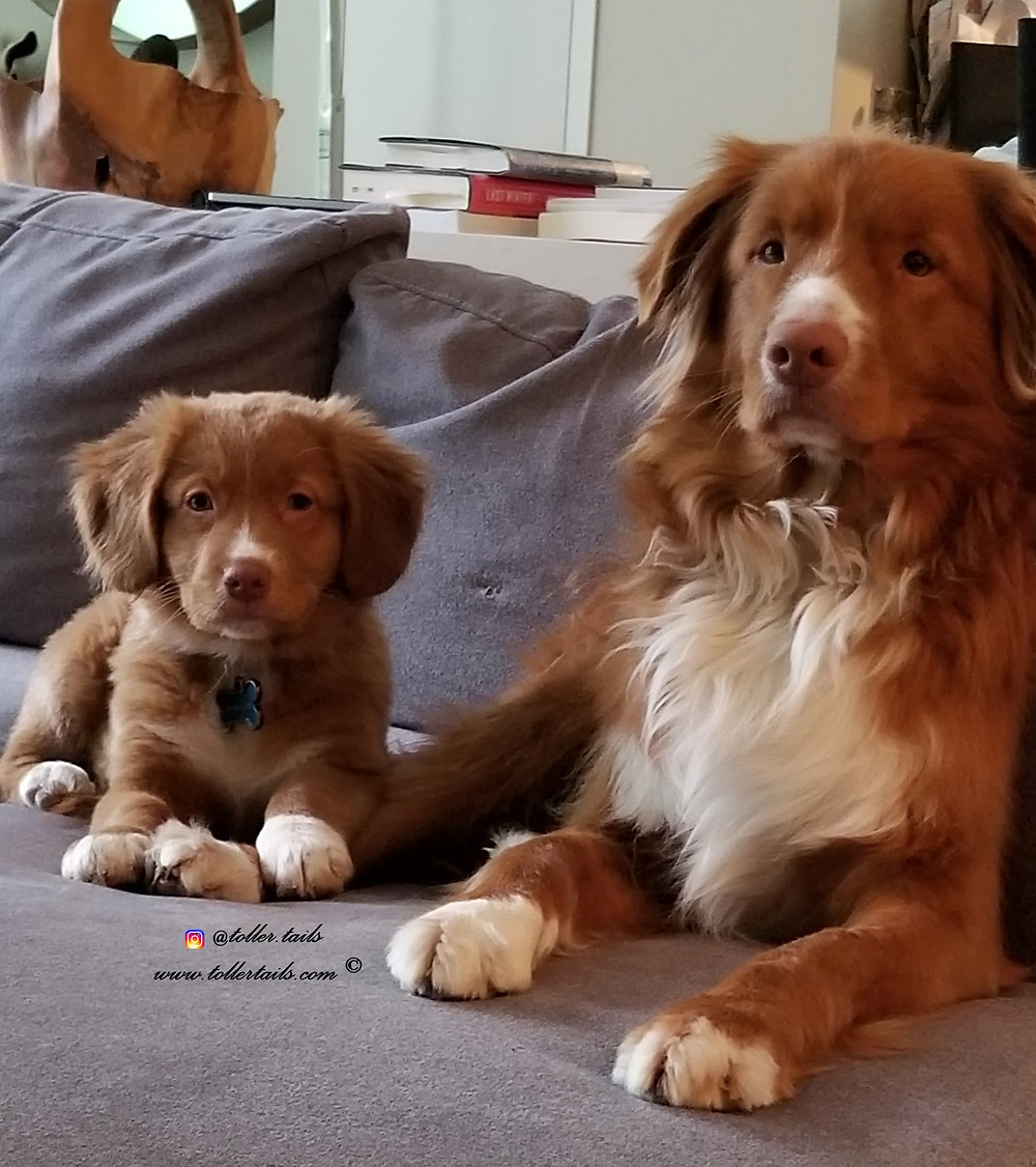 Henry and Hedy Toller Tails, 2 dogs sitting on a sofa