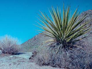Yucca digitalis