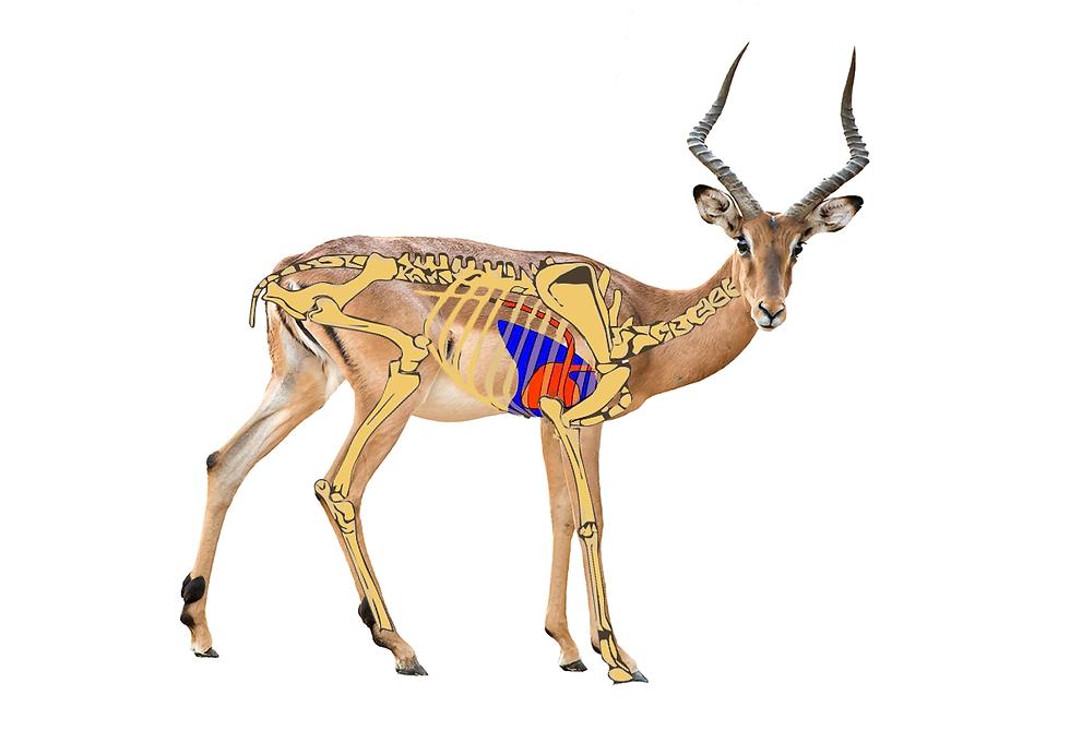 Rooibok skelet-copmbo.tif
