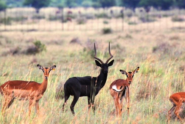 Figure 2 Black impala.jpg