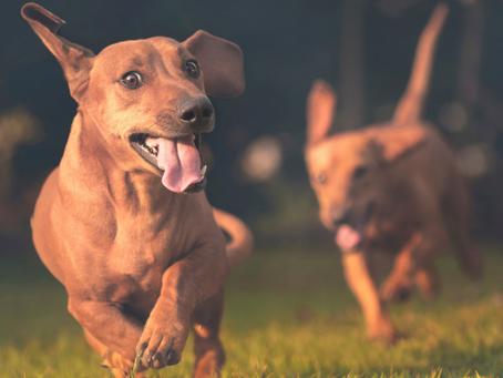 """Le """"jeu"""" de course chez le chien"""