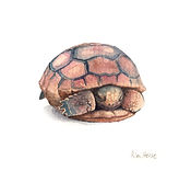 Baby Gopher Tortoise Watercolor on paper, 5x5""