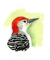 Red bellied woodpecker by Kim Heise