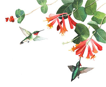 Ruby-throated Hummingbird and Coral Honeysuckle, watercolor on paper, 5x7""