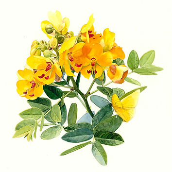 Chapmans Cassia watercolor painting by Kim Heise