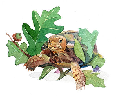 Baby Gopher Tortoise and Turkey Oak, watercolor on paper, 6x9""