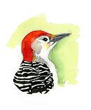 Red-bellied woodpecker EDIT.jpg