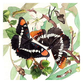 California Sister and Lorquin's Admiral watercolor paintig by Kim Heise