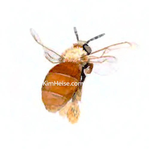 Centris Bee 3