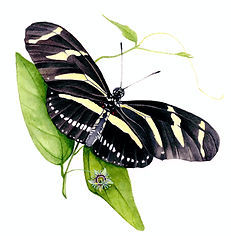 Zebra Longwing Buttefly watercolor painting by Kim Heise