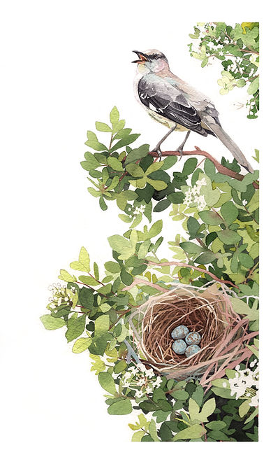 Mockingbird, nest and Walter's Viburnum, watercolor on paper, 9x14.5""