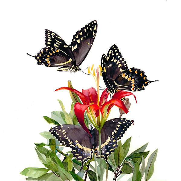 Pine Lilly and Palamedes Swallowtail Butterfly watercolor painting by Kim Heise